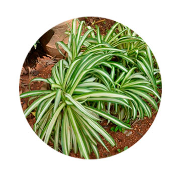 planta de araña